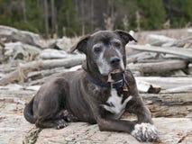 amerikanska staffordshire terrier Royaltyfri Fotografi