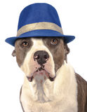 Amerikanska staffordshire terrier Arkivfoton