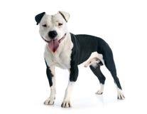 amerikanska staffordshire terrier Fotografering för Bildbyråer