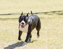 amerikanska staffordshire terrier Royaltyfria Bilder