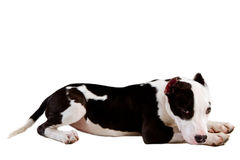 amerikanska staffordshire terrier Royaltyfria Foton