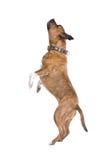 amerikanska staffordshire terrier Arkivbild