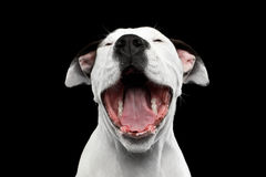 amerikanska staffordshire terrier Royaltyfri Foto