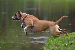 Amerikanska Staffordshire Terrier banhoppning Arkivbilder