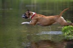 Amerikanska Staffordshire Terrier banhoppning Royaltyfria Bilder