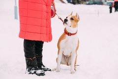 Amerikanska Staffordshire Terrier för hund anseende i snö nära kvinnafot Arkivfoton