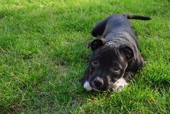 amerikanska staffordshire terrier Gullig ren brödvalp på gräsplanjordningen royaltyfri bild