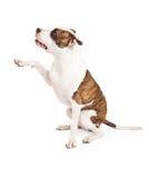 Amerikanska Staffordshire Terrier hund och Paw Shake Royaltyfria Foton