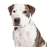 Amerikanska Staffordshire Terrier hundCloseup Royaltyfria Foton