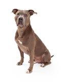 Amerikanska Staffordshire Terrier hundsammanträde Arkivfoto