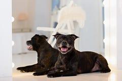 Amerikanska Staffordshire Terrier huvudstående Royaltyfri Foto