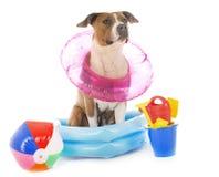 Amerikanska staffordshire terrier i ferier Royaltyfria Foton