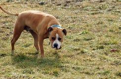 Amerikanska staffordshire terrier i gräs Arkivbild