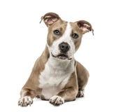 Amerikanska Staffordshire Terrier ligga som isoleras på vit Arkivfoton