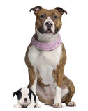 Amerikanska Staffordshire terrier med den rosa bandanaen, fransk bulldogg Royaltyfri Bild
