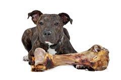 Amerikanska Staffordshire terrier med ett stort ben Arkivfoton