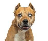Amerikanska Staffordshire Terrier och att flåsa, isolerat Royaltyfri Fotografi