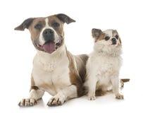 Amerikanska staffordshire terrier och chihuahua Fotografering för Bildbyråer