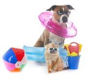 Amerikanska staffordshire terrier och chihuahua Arkivfoton