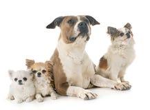 Amerikanska staffordshire terrier och chihuahuas Arkivbild