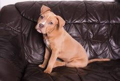 Amerikanska staffordshire terrier på en lädersoffa Royaltyfri Foto