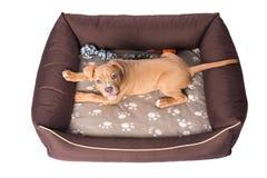 Amerikanska staffordshire terrier på hans säng Fotografering för Bildbyråer