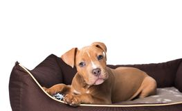 Amerikanska staffordshire terrier på hans säng Royaltyfri Foto