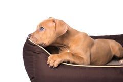 Amerikanska staffordshire terrier på hans säng Royaltyfri Fotografi