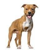 Amerikanska Staffordshire Terrier som framme står Fotografering för Bildbyråer