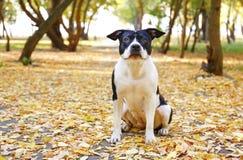Amerikanska staffordshire terrier som har gyckel i Central Park på härlig eftermiddag för nedgångtid royaltyfri bild