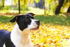 Amerikanska staffordshire terrier som har gyckel i Central Park på härlig eftermiddag för nedgångtid royaltyfri fotografi