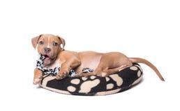 Amerikanska staffordshire terrier som isoleras på vit Arkivfoton