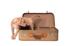 Amerikanska staffordshire terrier som isoleras på vit Royaltyfria Foton