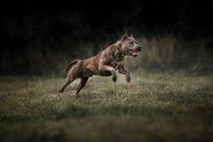 Amerikanska Staffordshire Terrier som spelar med en boll arkivbilder