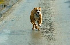 Amerikanska Staffordshire Terrier spring Royaltyfri Foto