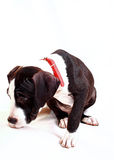 Amerikanska Staffordshire Terrier valp Royaltyfri Fotografi