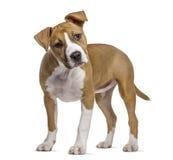 Amerikanska Staffordshire Terrier valp, 4 gamla månader Fotografering för Bildbyråer