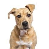 Amerikanska Staffordshire Terrier valp som isoleras på vit Royaltyfri Fotografi