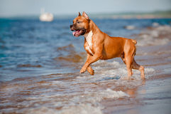 Amerikanska staffordshire terrierhund som spelar på stranden Royaltyfri Bild