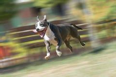 Amerikanska Staffordshire terrierspring och spela på en parkera Royaltyfri Fotografi