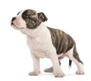 Amerikanska Staffordshire Terriervalp Arkivfoto