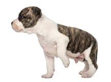 Amerikanska Staffordshire Terriervalp Arkivbild