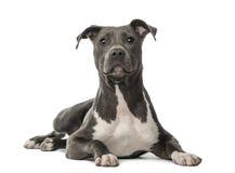 Amerikanska Staffordshire Terriervalp Royaltyfria Bilder
