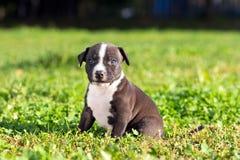 Amerikanska Staffordshire terriervalp Royaltyfria Foton