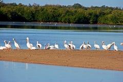 Amerikanska vita pelikan Fotografering för Bildbyråer
