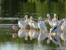 Amerikanska vita pelikan i Florida Royaltyfria Bilder