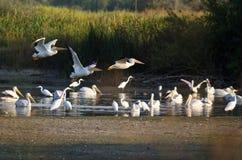 Amerikanska vita pelikan som lågt flyger över träsket Arkivfoton