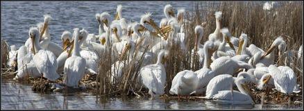 Amerikanska vita pelikan som vilar för långt flyg royaltyfri fotografi