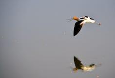 amerikanskt avocetflyg Arkivfoton
