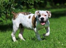 Amerikanskt bulldogganseende på gräset Fotografering för Bildbyråer
